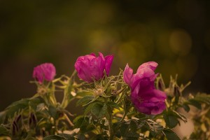 garden-rose-823824_640